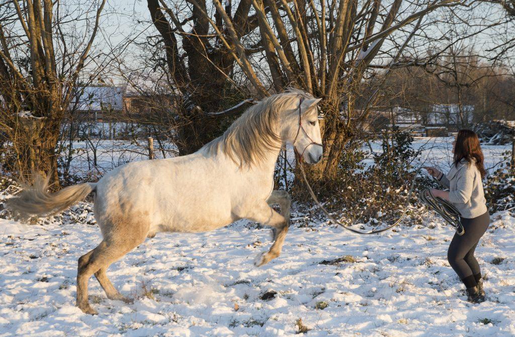 gedragstraining voor paarden